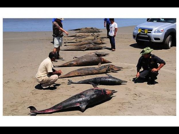 Peru dolphin deaths could pose risk to humans, says NGO