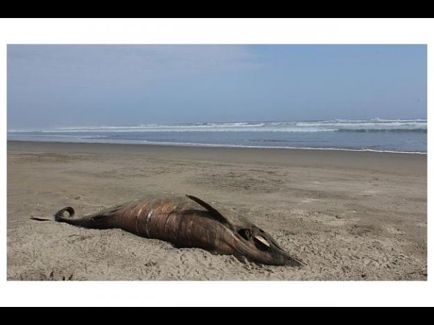 Over 3 thousand dead dolphins found on beaches in northern Peru