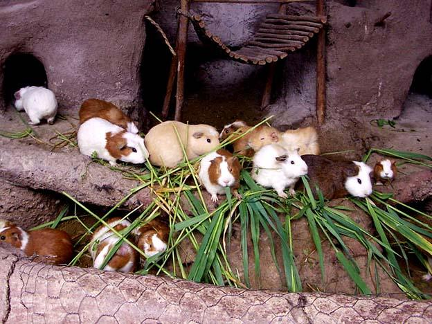Peru's Ministry of Agriculture declares National Guinea Pig Day