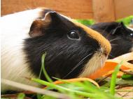 Peru: Producers buoyed by rising popularity of guinea pig meat around the world