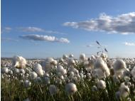 Peru launches cotton campaign