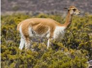 Huancavelica to produce over 1,200 kilos of vicuña fiber next year