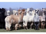 Peru's agriculture bank creates fund to promote alpaca fiber