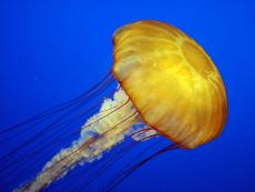 Summer in Peru: What should I do if I am stung by a jellyfish?