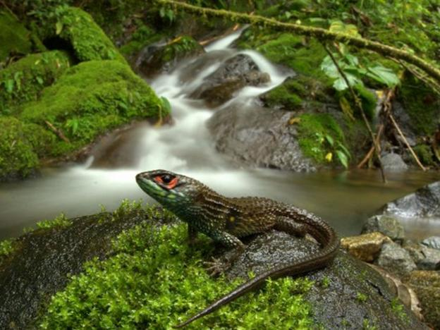 New lizard species discovered in Peru's Manú National Park