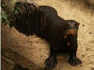 Animals of the Amazon: The under-appreciated giant river otter (PHOTOS)