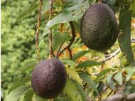 Peru to promote avocado consumption in United States