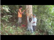 The rubber industry sees renaissance in Peruvian jungle
