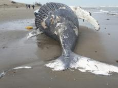 Humpback whale beached in northern Peru