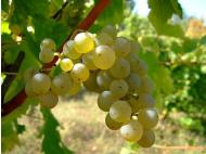 Peru and Chile: Possible partnership concerning grapes