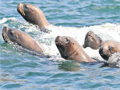 Seals accused of spreading TB to the Americas