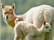 Alpaca fur a hit in New Zealand
