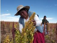 Quinoa war: Peru and Bolivia battle to be top producer