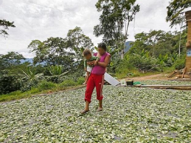 Infested coffee plants have farmers growing more coca leaf