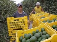 Minagri confirms Peru as second largest exporter of avocados