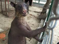 Peruvian bear to be rescued and taken to Wild Animal Sanctuary in USA