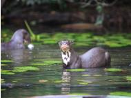 Giant otters, kings of Tambopata