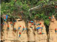 Be amazed by the colorful Macaw Clay Lick show in Manú