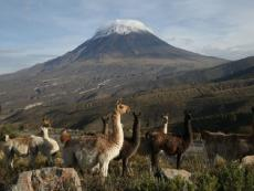 Salinas and Aguada Blanca Reserve reports vicuña population increase