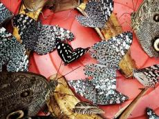 Free to fly: Puerto Maldonado's butterfly farm