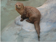 Getting to know Peru's otters