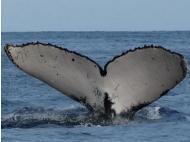 Humpback whale sighted in Piura seas