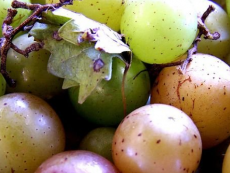 Grape seed oil to help with obesity
