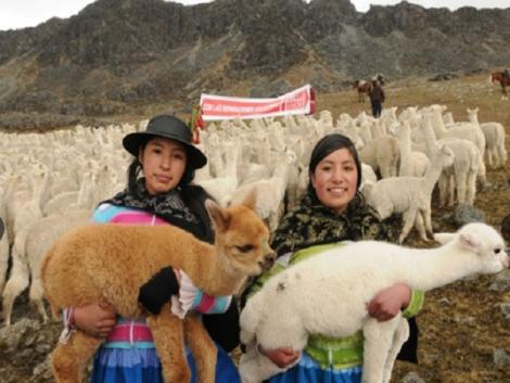 Alpaca fiber exports amount to US$ 21 million