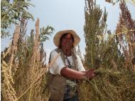 Quinoa exports on the rise
