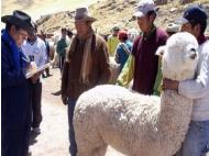 Peru celebrates National Alpaca Day