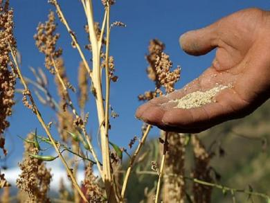 Peru exports largest amount of quinoa in first 5 months of 2015