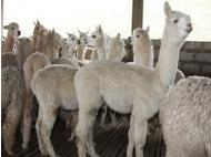 Puno allocates more than S/. 80 million to alpaca breeding