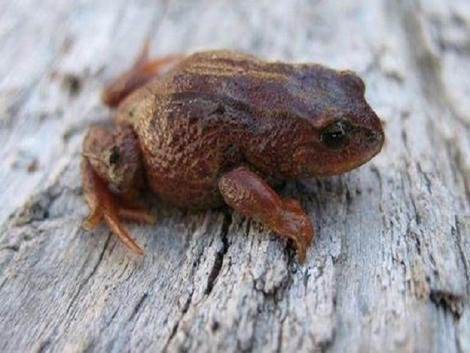 New frog species discovered in Cusco
