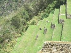 Machu Picchu visitors spot spectacled bear