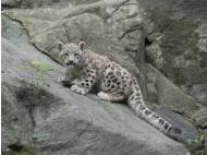 PlanetPeru: Snow leopards and the cultivation of hope