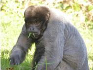 Fun Fact Friday: Woolly Monkey