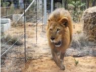 Rescued lions airlifted from Peru to South Africa wildlife sanctuary (PHOTOS)