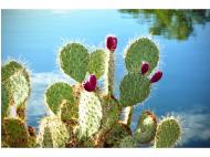 Fun Fact Friday: Prickly Pear Cactus