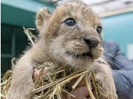 First lion cub in 20 years