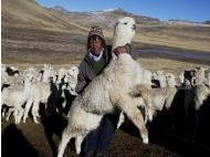 Puno: thousands of alpacas dead due to low temperatures
