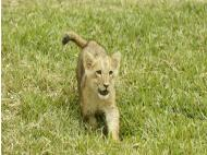 Lion cub introduced to the public
