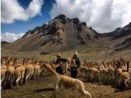 Gov. to control vicuña wool export