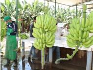 Netherlands goes bananas for Peruvian fruit