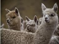 Unseasonable weather killing alpacas
