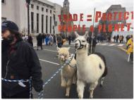 Two alpacas and a llama go to a protest
