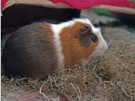 BBC delves into Peruvian guinea pig industry