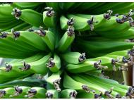 Exportation of organic bananas delayed