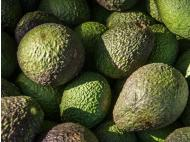 Hass Avocados to conquer foreign markets