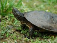 Peru rescues Galapagos tortoises from traffickers