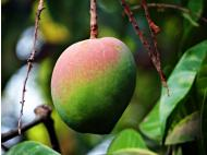 Peru: Top supplier of mangoes in the UK